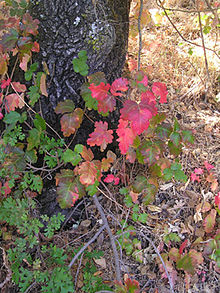 Poison Oak (photo courtesy of Wikipedia)